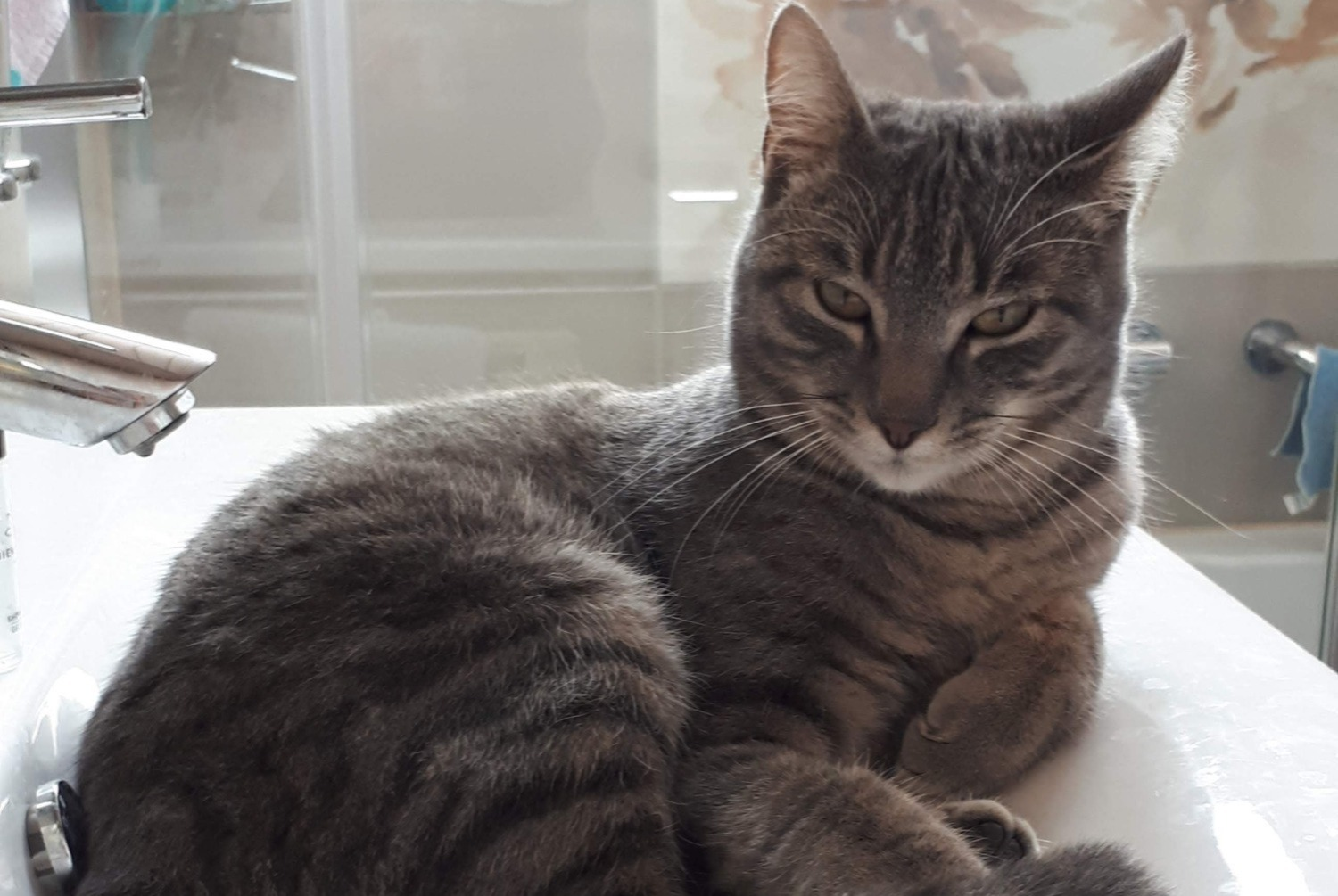 Disappearance alert Cat Male , 1 years Milvignes Switzerland