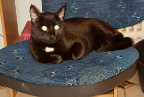 Disappearance alert Cat Male , 1 years Couvet Switzerland