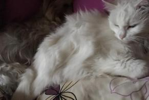 Disappearance alert Cat  Female , 8 years Vich Switzerland
