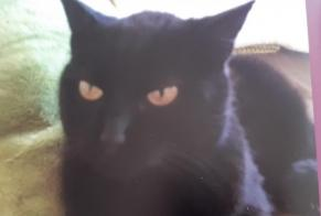 Disappearance alert Cat Female , 15 years Grandcour Switzerland