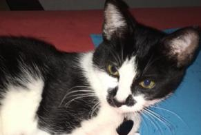 Disappearance alert Cat Female , 2 years Rolle Switzerland