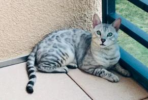 Disappearance alert Cat  Male , 4 years Arzier Switzerland