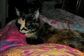 Disappearance alert Cat miscegenation Female , 6 years Lucens Switzerland