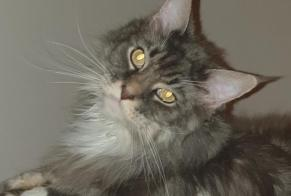 Disappearance alert Cat  Male , 6 years La Chaux-de-Fonds Switzerland