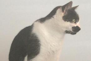 Disappearance alert Cat Male , 5 years Mex (VD) Switzerland