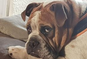 Disappearance alert Dog  Male , 6 years Montagny (FR) Switzerland