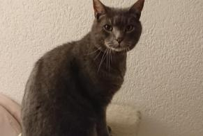 Disappearance alert Cat  Male , 11 years Cortaillod Switzerland