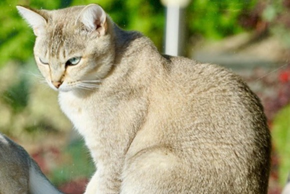 Disappearance alert Cat  Male , 2 years Chardonne Switzerland