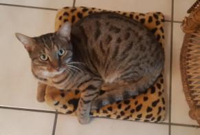 Disappearance alert Cat  Male , 1 years Neuchâtel Switzerland