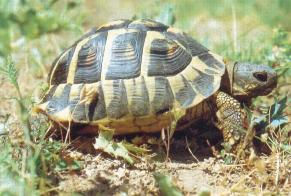 Disappearance alert Tortoise Male , 2021 years Fontainemelon Switzerland