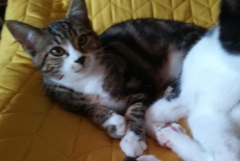 Alerte Disparition Chat Mâle , 1 ans Farvagny-le-Grand Suisse