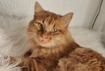 Alerte Disparition Chat Mâle , 3 ans Chavornay Suisse