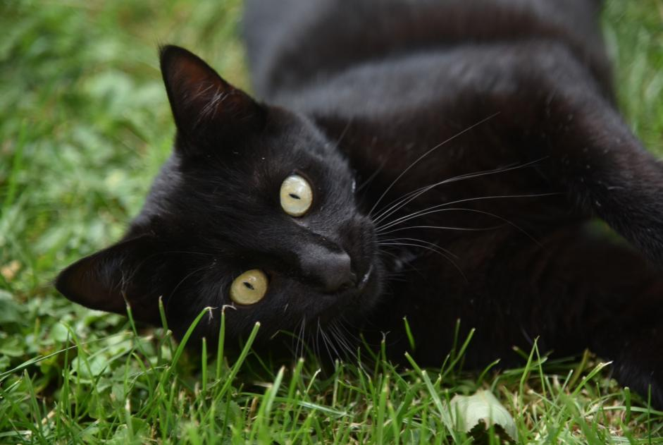 Alerte Disparition Chat Mâle , 2 ans Vevey Suisse